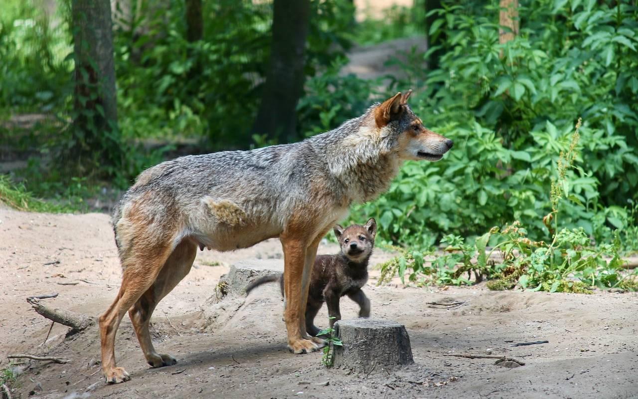 Wolf Eitorf