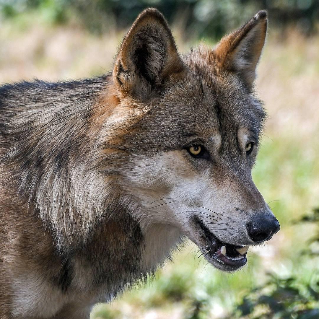 Wolf In Eitorf